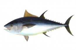 Bluefin Tuna seriously threatened by the oil spill