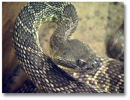 Beware rattlesnake eggs ready to hatch
