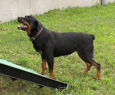 Rottweiler by Antarant