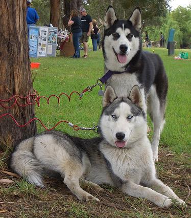 Huskies by redwolfoz