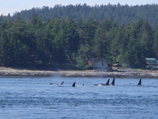 Killer whales during our whale watching boat tour.