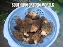 Hunting Southern Oregon Morels Mushroom Hunting
