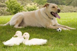 A dog and two ducklings.