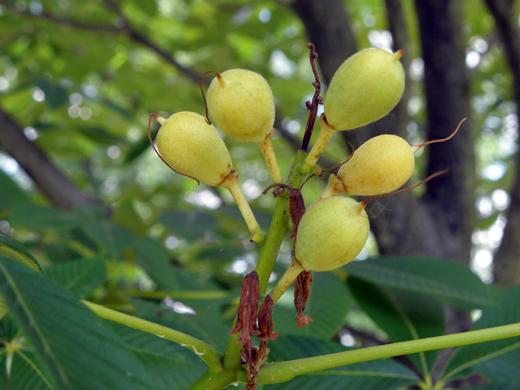 Seed Capsules of Painted Buckeye Tree
