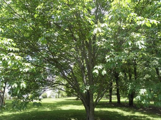 Arnold Buckeye Tree