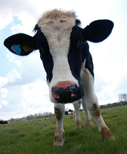 Curious milk cow photo: law_keven @flickr