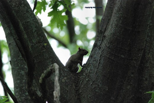 A squirrel stops in a crook of an oak tree, interupted in its journey across the yard using the tree canopy as its highway.