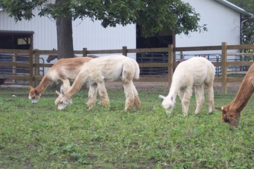 Some of the pregnant alpaca's grazing in one of the paddocks.