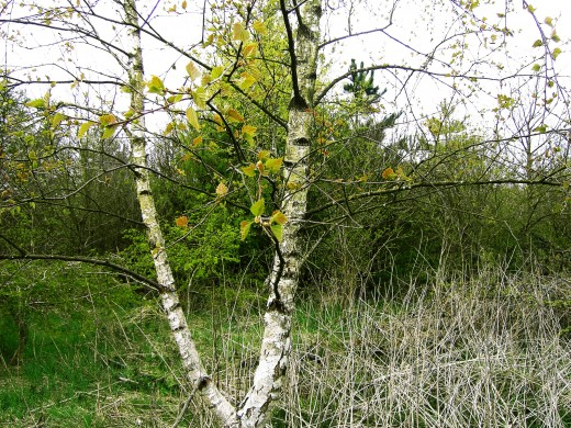 A young silver birch has the shiny bark retained by mature trees.Photograph by D.A.L.