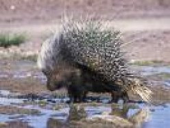 A Face Full Of Porcupine Quills