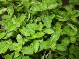 Oregano Herb by Thomas Then on wikimedia commons.