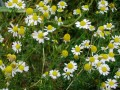 Chamomile by Mussklprozz on wikimedia commons