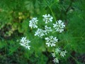 Cilantro by Rlevse on wikimedia commons