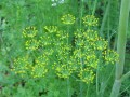 Dill in public domain on wikimedia commons