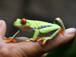 The Red Eyed Tree Frog