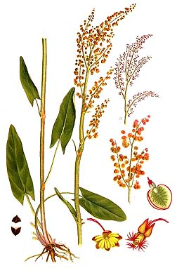 Garden, or French sorrel