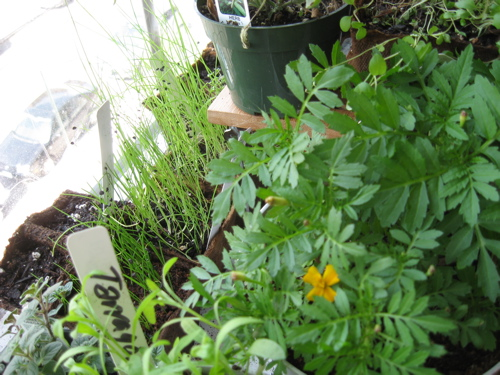 Use labels when starting a windowsill herb garden  / Photo by E. A. Wright