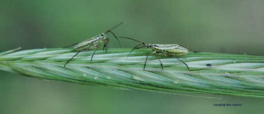 Two bugs on a piece of rye grass on the roadside.