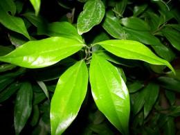 Ceylon cinnamon tree photo: davecito @flickr