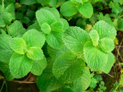 growing garden mints