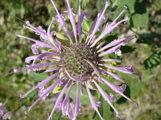 Wild Bergamot (Photo courtesy by That Canadian Grrl from Flickr.com)