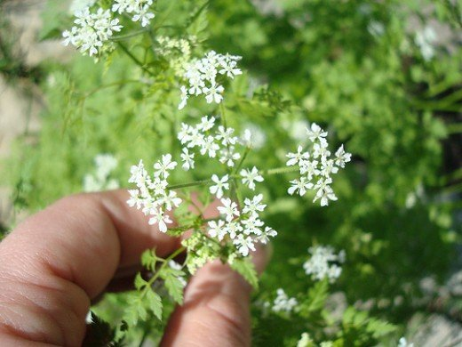 Chervil Blossoms and Leaves (Photo courtesy by ejhogbin from Flickr.com)
