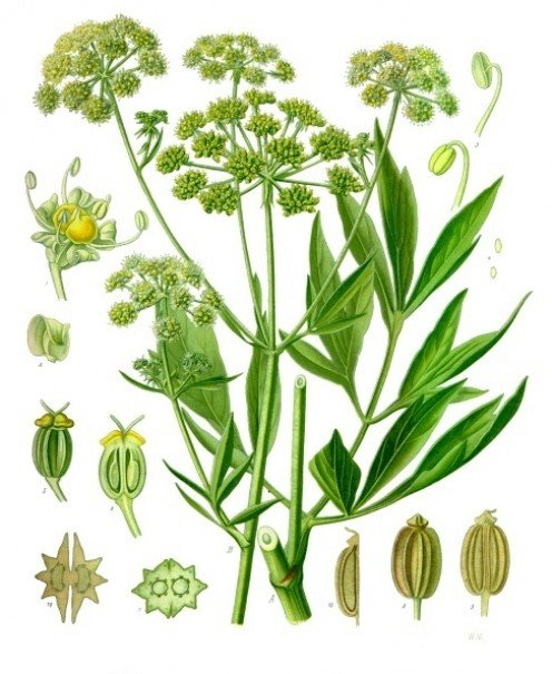 Lovage, beloved of the Romans and still enjoyed today!
