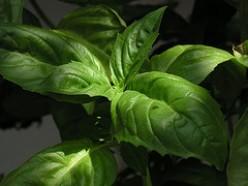 Growing Culinary Herbs- Basil