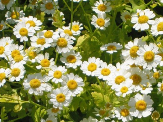 Feverfew for migraine headaches