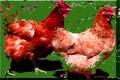 Benefits of Free Range or Kosher Chicken