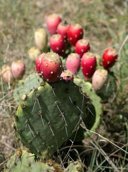 The leaves of the Prickly Pear Cactus, Nopales, make a great vegetable!