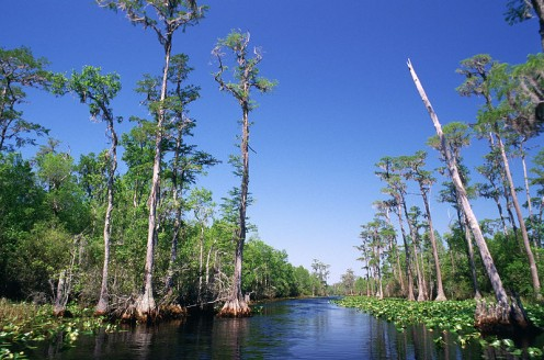 Bald Cypresses in the Okefenokee Swamp.