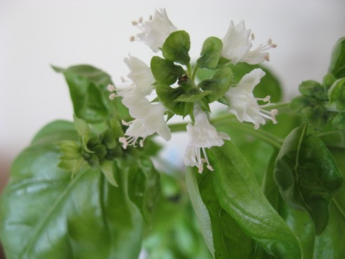 White basil flowers / Photo by E. A. Wright