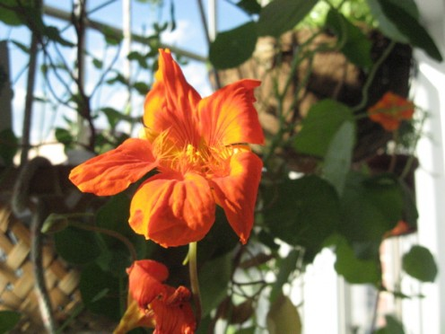 Nasturtiums will send trailing blooms down the sides of a hanging basket / Photo by E. A. Wright