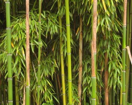 Bamboo is considered a renewable resource and is used in making eco-friendly furniture.  Photo distributed under the Creative Commons Attribution ShareAlike 3.0 License courtesy of http://commons.wikimedia.org/wiki/File:Bamboo_Richelieu.jpg