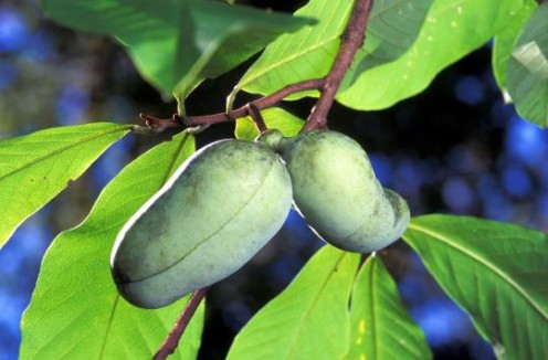 Image of a fruitning paw paw tree.