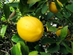 Meyer lemons have a softer skin and more spherical shape than conventional lemons / Photo by E. A. Wright