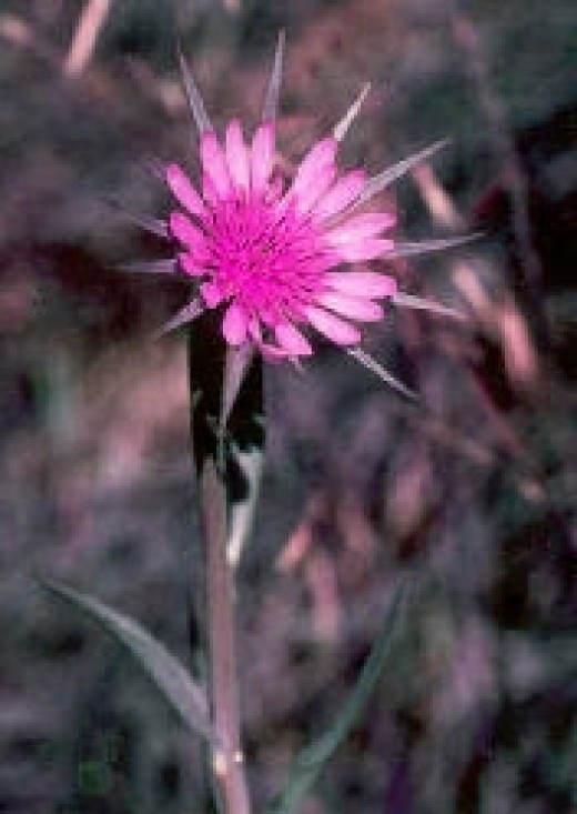 Salsify, or the Oyster Plant