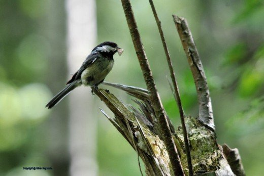 A black-capped chickadee rests with either an insect or moss in its beak.