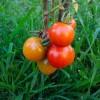 The Wonders of Tomato :: Health Benefits of Tomato