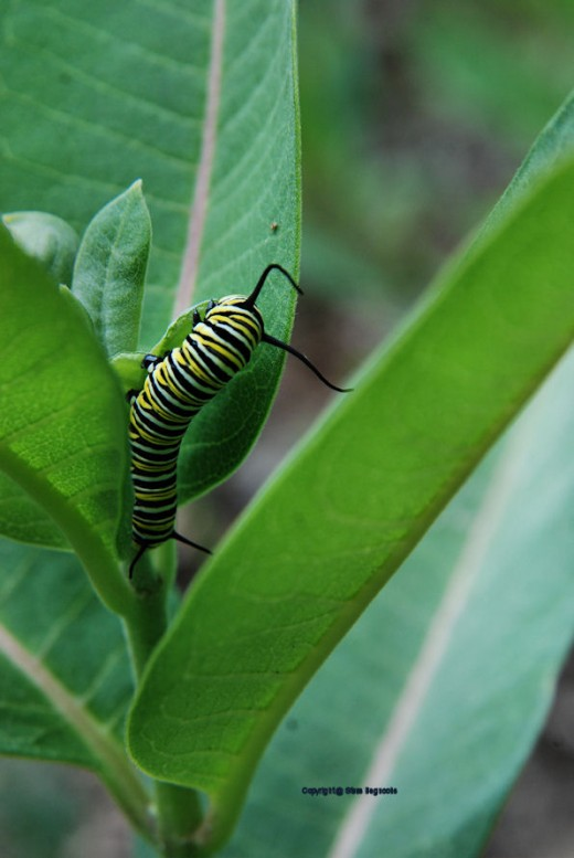 This striking, striped caterpillar will become a monarch butterfly. It's feeding on a milkweed.