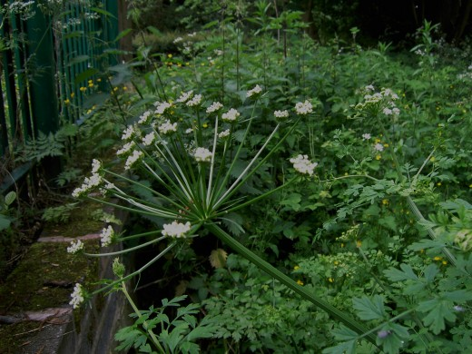 The large umbels of the hemlock water dropwort. Photograph by D.A.L.