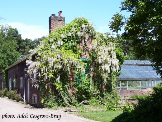 Fabulous wisteria clings to an old cottage, now used as a workroom.