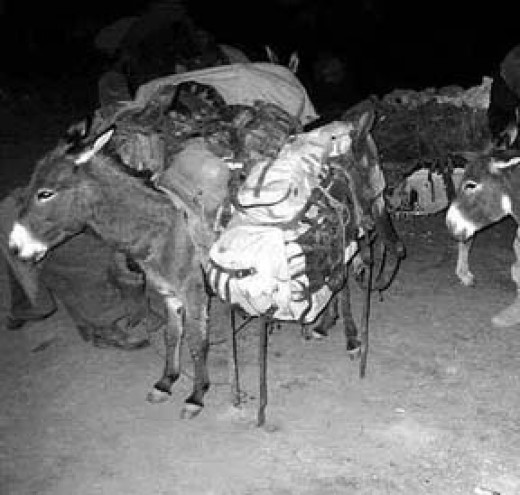 November 12, 2001.  Special Forces mule. Operation Enduring Freedom, Afghanistan. Photo courtesy of US Government and Olive-Drab.com