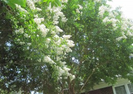 White Crepe Myrtle Blooming Snowflakes