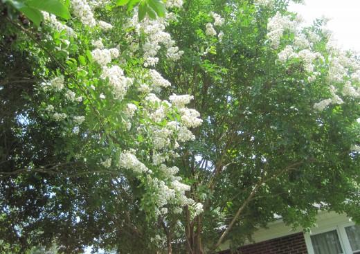 White Crepe Myrtle Blooming Snowflakes