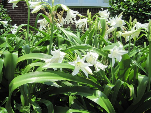White Oriental Lilies