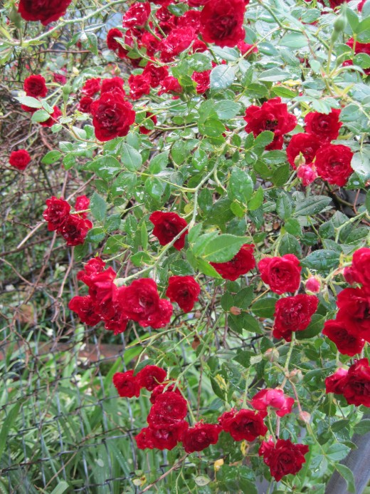 Tiny red roses in the rain... :)
