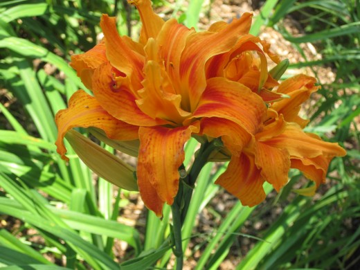 Double Ruffle Tiger Lilies