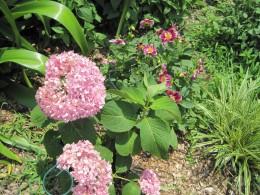 Pink Hydrangea, Red Dahlias